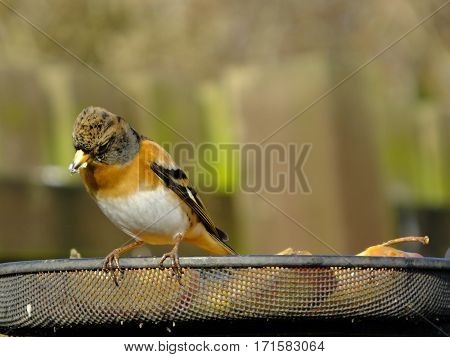 Beautiful brambling perched at a feeding station during wimtertime