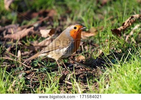 A Robin foraging among grass and leaf litter