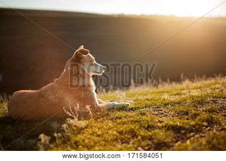 red-white dog laying on grass on background with hill and sky. Rest. Green field. Spring season in the countryside. Sunny day. Animals. Portrait.
