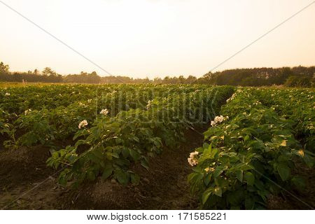 Agricultural - potato fields farm in evening time