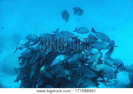 School of fish fish in Indian Ocean, Maldives. Tropical clear turquoise water