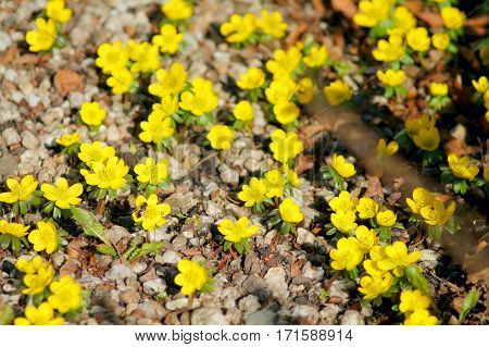 First spring yellow flowers. Toxic winter aconite (eranthis hyemalis) in sunshine. Selected focus.