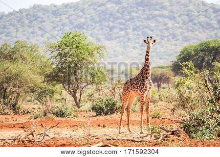 Beautiful Giraffe On Savanna, Kenya