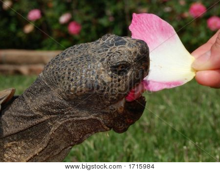 Tortoise Eats Rose  Close Up
