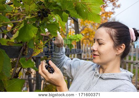 Autumn. Woman picking grapes that she grows at her garden