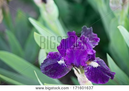 green background with purple iris close up
