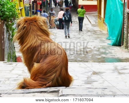 a lonely street dog looking for a home in Aguas Calientes, Peru