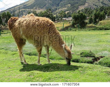 A chained Alpaca eating grass in a field in Peru