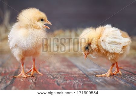 Newborn Chicks. Orange Chicks in different poses