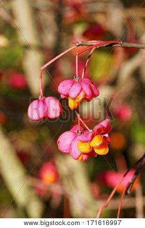 Opened Seed Vessels of the European Spindle Tree ( Euonymus europaeus )