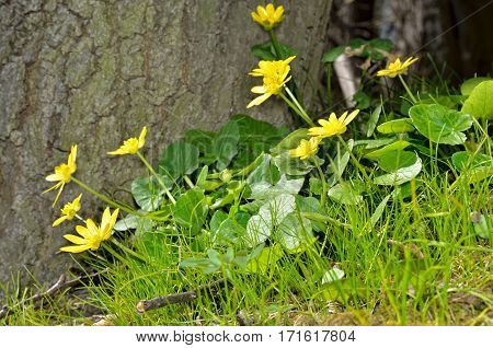 Buttercup Yellow Flower Blooming In The Spring In The Woods