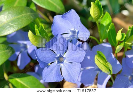 Blue Flowers Periwinkle Among Green Leaves In The Forest