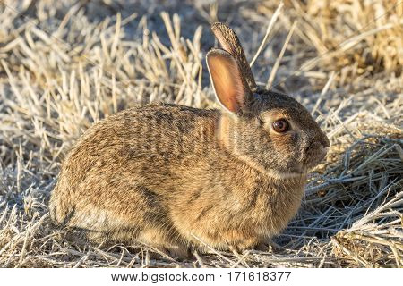 a cute cottontail rabbit in the fall