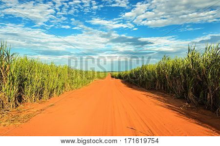 Dirt Road Surrounded By Sugar Cane Plantation