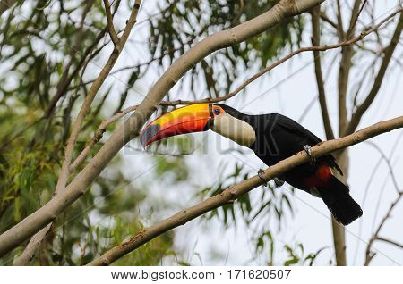 Toucan Watching On A Tree Branch In The Wild