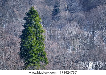 Scenic winter mountain landscape with big lonely spruce