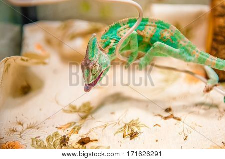 One yemen Chameleon on  hunting for insects