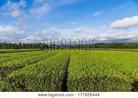 Oolong Tea Field In Chiran, Kyushu, Japan And Blue Sky