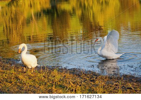 Image of two white swans on autumnal blue pond