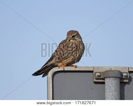 Common kestrel resting on a street sign with blue skies in the background