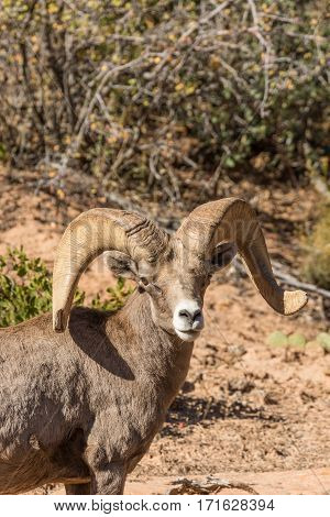 a desert bighorn sheep ram in fall in Utah