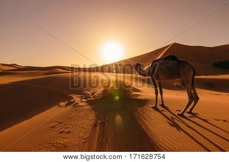 Image of the side of an camel eating some grass during a beautiful sunrise at the desert Erg Chebbi in Morocco.