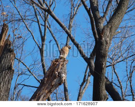 A Red Shoulder Hawk sits on an old dead tree branch. The pair have already started to rearrange last years nest for this season.