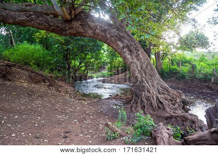 Beautiful huge tree by the spring in Taveta Kenya