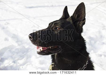 Portrait of black Alsatian dog (East European Shepherd)