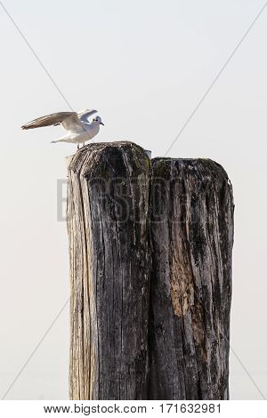 seagull rest on wooden mooring at lake