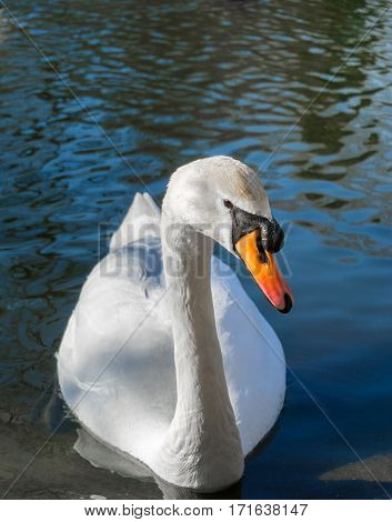 Graceful white swan. Close-up of a white Swan (Cygnus). Swans at the Lake.  Water Birds. Animals in the wild. Close-up of a passing Swan. Wildlife