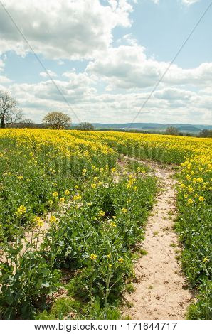 Canola fields in the springtime of Britain.