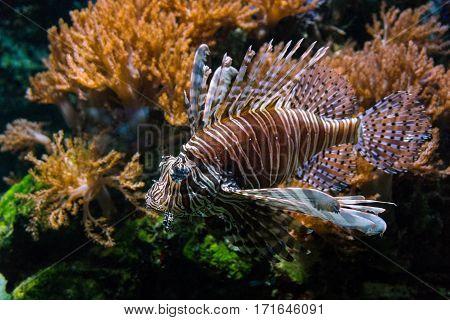Close-up of a devil fish. Toxic devil fish