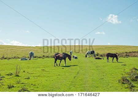 Wild horses roaming around the Brecon beacons on a sunny day.