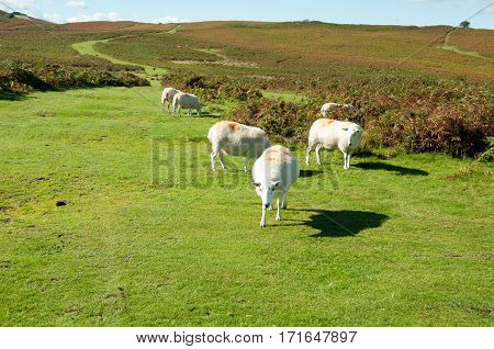 Sheep roaming the hills in the Brecon beacons.