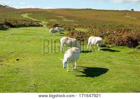 Sheep roaming around the hills in the Brecon beacons of Wales,