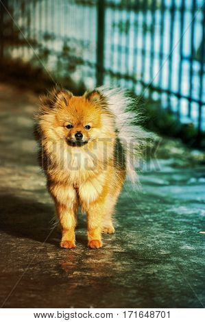 Pomeranian spitz is staying on the ice and looking in your direction