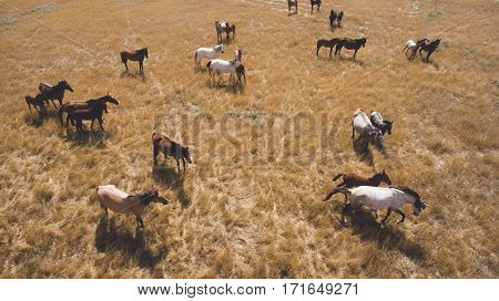 Aerial photo from flying drone of a beautiful horses are standing on a land in rural with dry climate in summer sunny day. Beauty thoroughbred animals are grazing on a pastures in steppe landscape