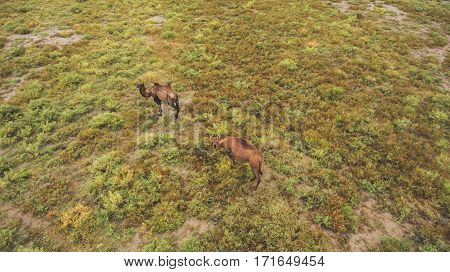 Top view aerial photo from drone of a meadow with beautiful animals in sunny summer day in Asia. Thoroughbred camels are grazing in Kazakhstan countryside in spring season. Concept environment