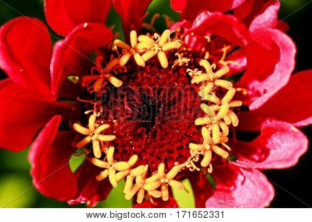 The flower is red. Macro photography close range.