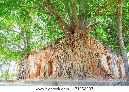 Ancient brick temple with root tree Wat Sung Kratai Thailand
