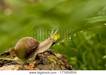 Beautiful snail on dewy grass , nature background