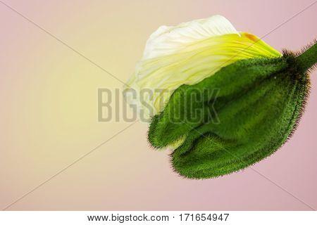 A very interesting poppy blossom opens slowly.