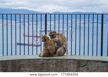 Two barbery apes sitting and grooming on a wall at Gibraltar nature reserve against scenic seascape on a cloudy day.