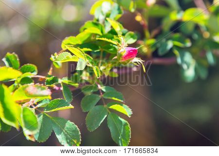 Rose hip, dog rose flower, wild rose, medicinal plant