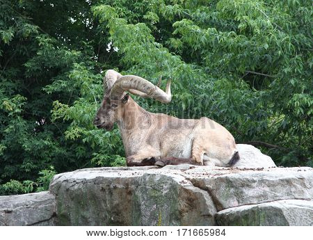 The adult male of a mountain ram has a rest lying on a stone