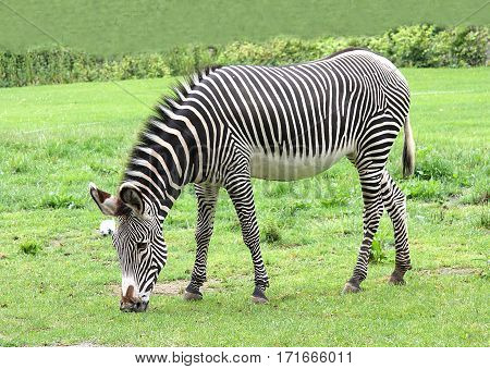 The zebra nibbles a grass on a green lawn