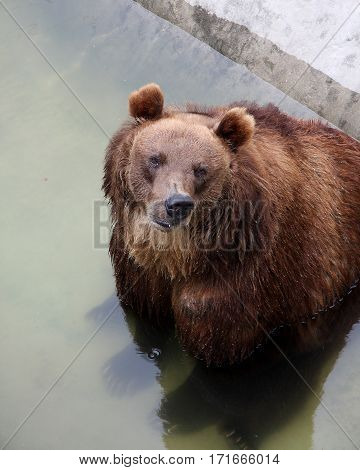 The bear bathes in the hot summer afternoon