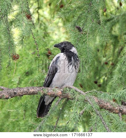 The gray crow sits on a pine branch