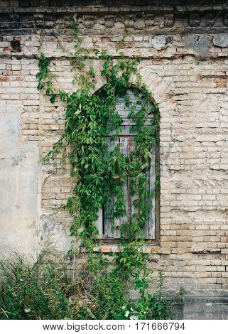 Boarded-up window overgrown with green ivy. Part of the old building with brick wall and window.